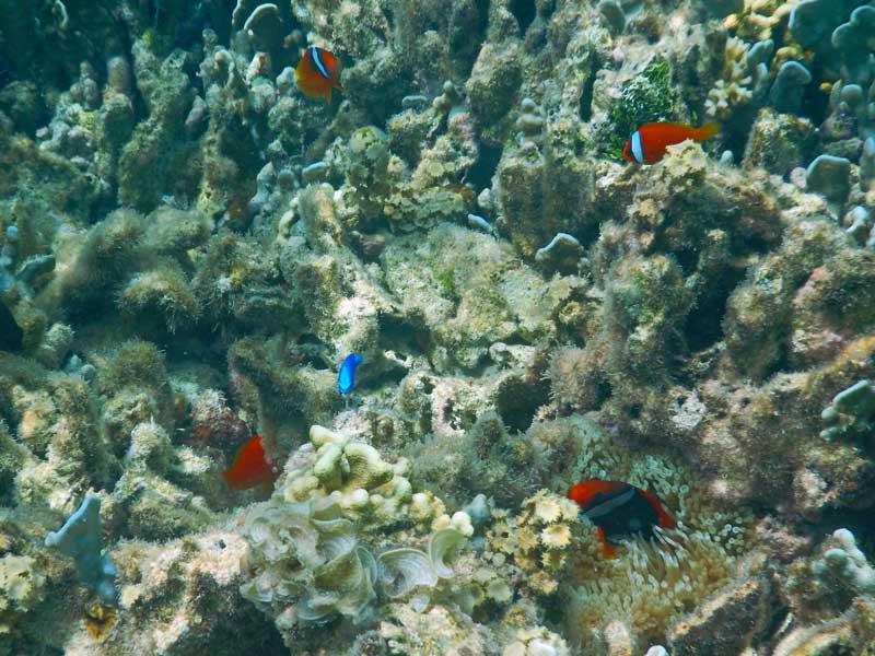 YOV Iriomote fish 02
