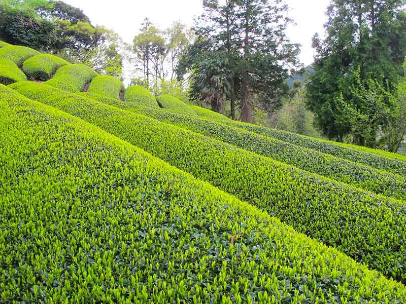 TKT_13_Tea_fields.jpg