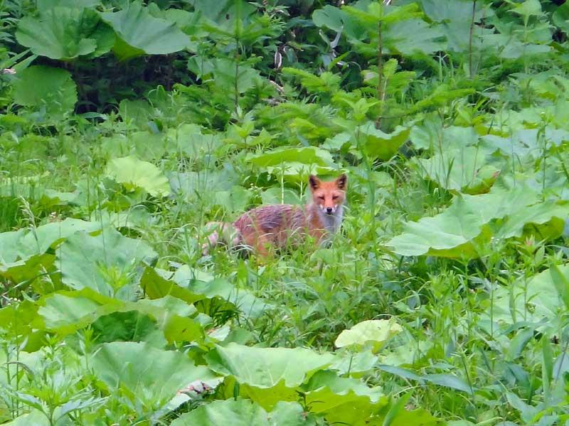 EHW_fox2.jpg