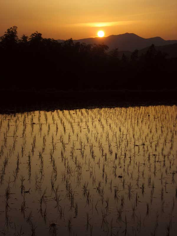NWW Shinchaya ricefield at sunset