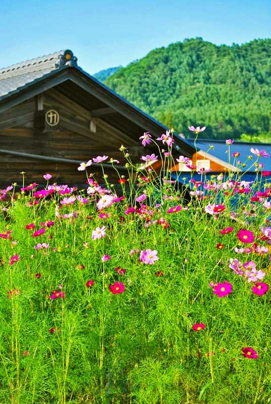 SNW Kaida flowers