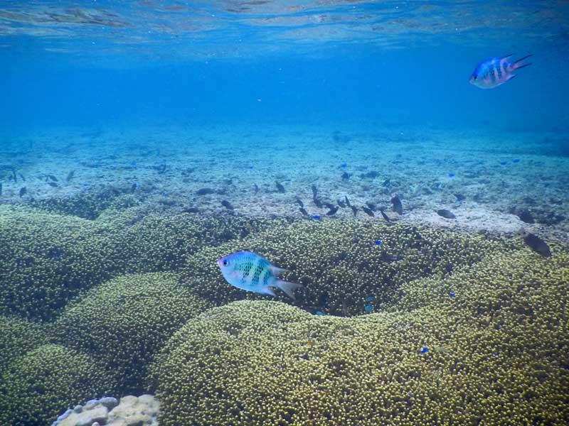 YOV Iriomote fish 01
