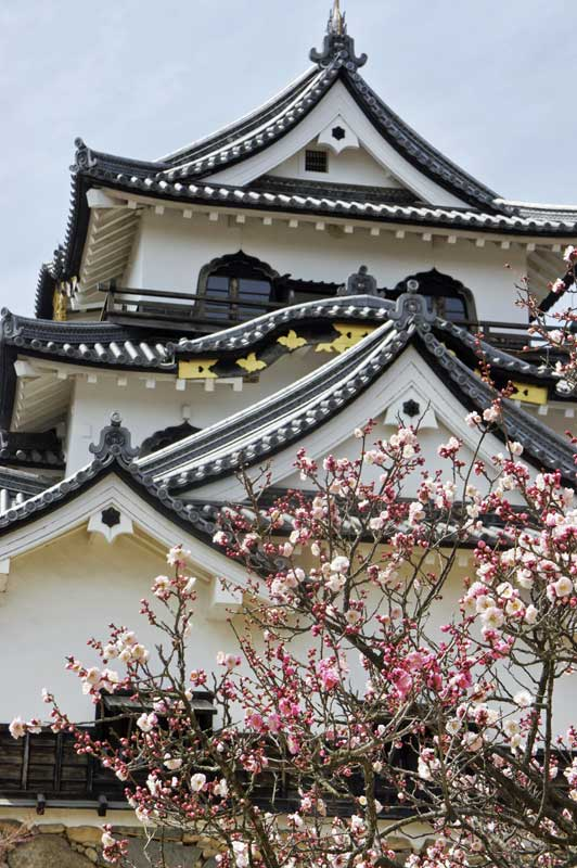 NW Cherry blossom at Hikone Castle