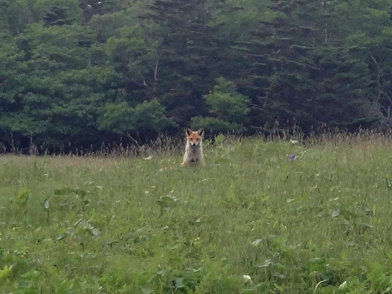 EHW_fox1.jpg